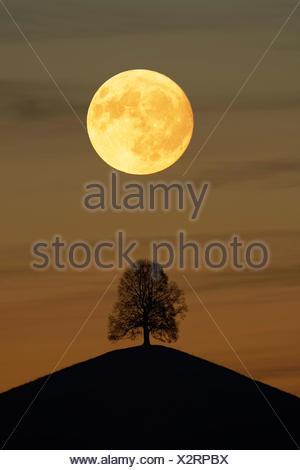 Solitaire tree, Linden tree (Tilia), on moraine hills at full moon, Canton Zurich, Switzerland - Stock Photo