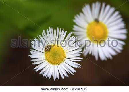 a beetle sitting on a white daisy flower. - Stock Photo