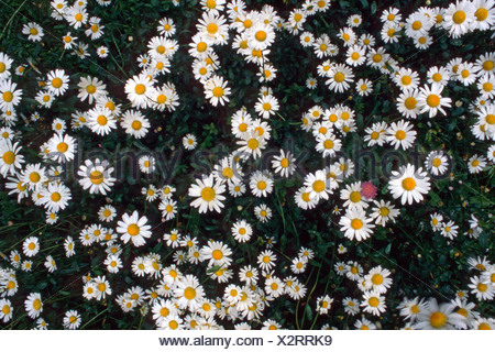 Daisies on a meadow (Bellis perennis), Tyrol, Austria, Europe - Stock Photo