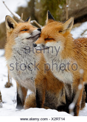 red fox (Vulpes vulpes), two foxes standing side by side in the snow caressing each other, Germany - Stock Photo
