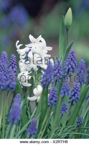 Jacinthe and grape hyacinth (Hyacinthus orientalis & Muscari racemosum), blooming - Stock Photo