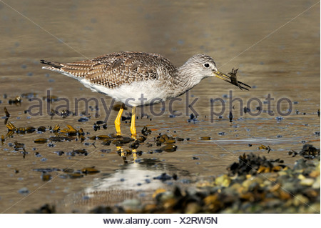 Greater Yellowlegs (Tringa melanoleuca) with small crab, near Victoria, Canada - Stock Photo