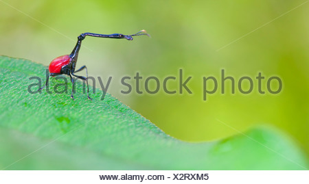 Giraffe necked weevil male on leaf of Dichaetanthera cordifolia, on which it feeds. Tropical rainforest, Mantadia NP, Madagascar