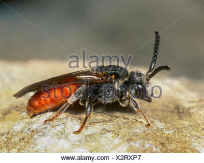 Grosse Blutbiene, Grosse Blut-Biene (Sphecodes albilabris), Weibchen, Deutschland | Blood bee (Sphecodes albilabris), female, Ge - Stock Photo