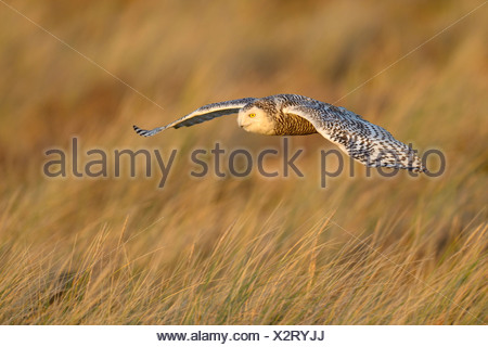 Snowy Owl (Bubo scandiacus), female flying over its winter area, evening light, Vlieland, West Frisian Islands - Stock Photo