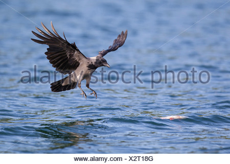 Hooded Crow (Corvus corone cornix). Adult in landing approch to a dead fish drifting in water. Mecklenburg-Western Pomerania, Ge - Stock Photo