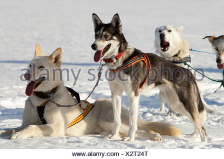 Sled dogs, lead dogs, Alaskan Huskies, in harness, panting, resting in snow, frozen Lake Laberge, Yukon Territory, Canada - Stock Photo