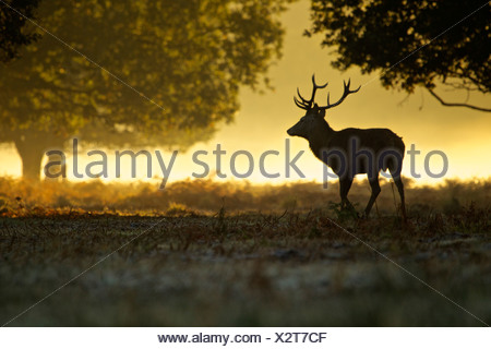 Silhouette of red deer stag at dawn - Stock Photo