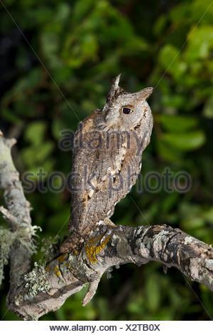Scops Owl Otus scops on a branch, Majorca, Spain - Stock Photo