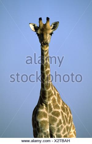 giraffe  (Giraffa camelopardalis), portrait, Namibia, Ovamboland, Etosha NP - Stock Photo