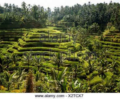 Rice paddies near Ubud, Bali, Indonesia, south-east Asia - Stock Photo