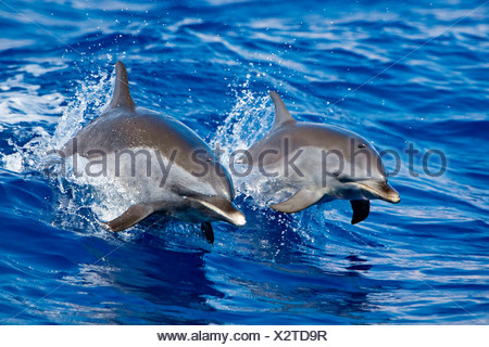 Pantropical spotted dolphin wake riding - Stock Photo