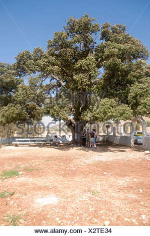 Israel Lower Galilee the tomb of Rabbi Aba Halafta Mount Tabor Oak tree Quercus ithaburensis Estimated at 600 years - Stock Photo