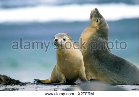 AUSTRALIAN SEA LION neophoca cinerea, ADULTS ON BEACH, AUSTRALIA - Stock Photo