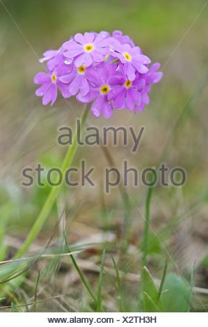 Bird's-eye primrose (Primula farinosa), Nationalpark Hohe Tauern national park, Austria, Europe - Stock Photo