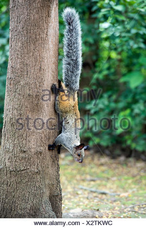 Guayaquil squirrel (Sciurus stramineus), Jorupe Parkland, tropical dry forest, Western Andean foothills, Ecuador - Stock Photo