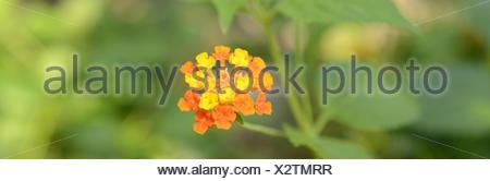 Wild-sage, Lantana camara, Kamara Adans, Riedelia Cham, - Stock Photo