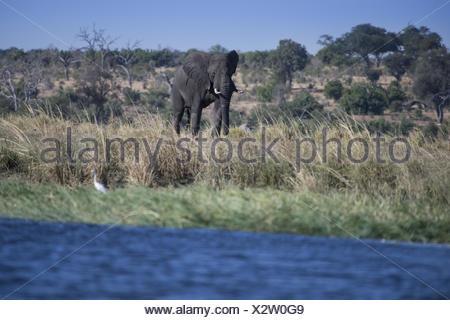 African Elephant, (Loxodonta africana) - Stock Photo