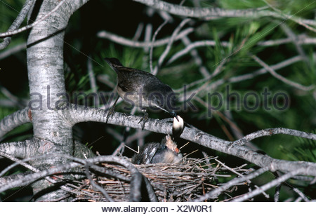 Orphean warbler removed fecal pellet from chick Sylvia hortensis Alicante Spain - Stock Photo