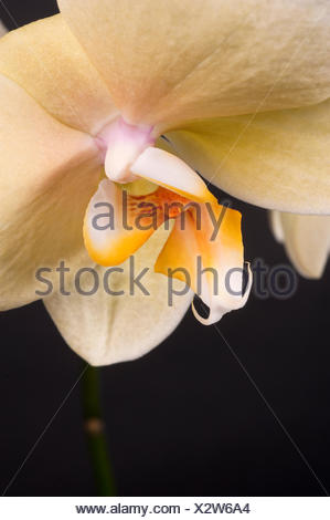 White Orchid...on a Black Background - Stock Photo