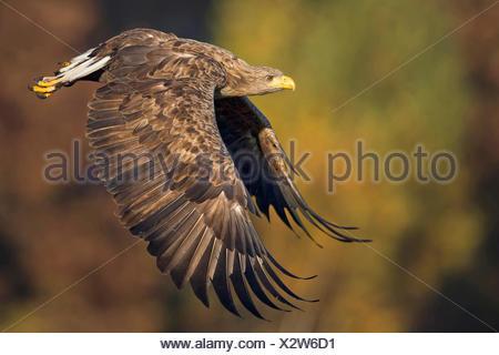 white-tailed sea eagle (Haliaeetus albicilla), adult flying, Poland, Plock - Stock Photo