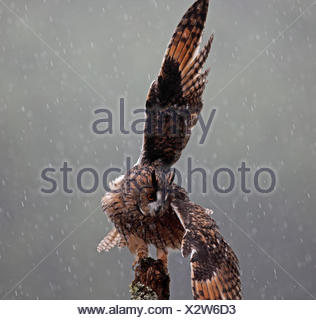 Long eared owl (Asio otus) perched on post, shaking wings in rain, Wales - Stock Photo
