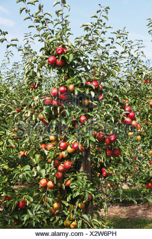 Apple orchard, red apples on the tree - Stock Photo