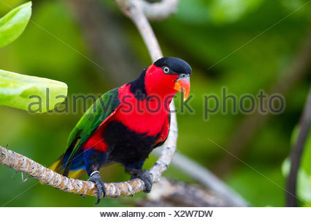 Black-capped Lory - Stock Photo