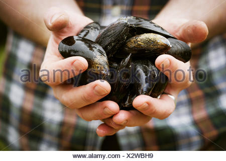 Close up of a chef holding fresh Black Mussels in his hands. - Stock Photo