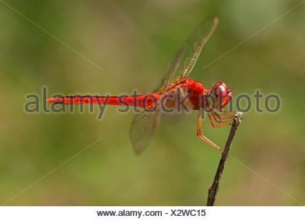 Scarlet skimmer, crimson darter (Crocothemis servilia), male, Battambang, Cambodia, Southeast Asia, Asia - Stock Photo