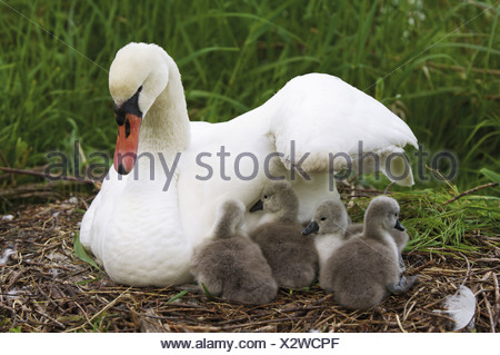 mute swan with squabs in nest Cygnus olor - Stock Photo