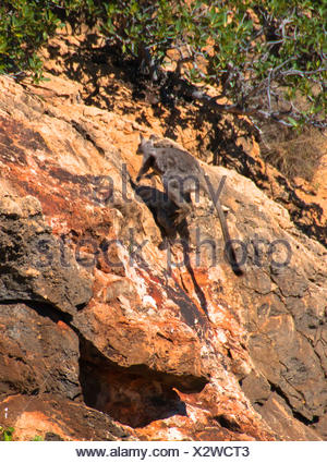 yellow-footed rock wallaby (Petrogale xanthopus), jumps on a rock, Australia, Western Australia, Cape Range National Park, Yardie Creek Gorge - Stock Photo