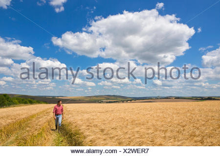 Farmer walking through sunny rural barley crop field in summer - Stock Photo