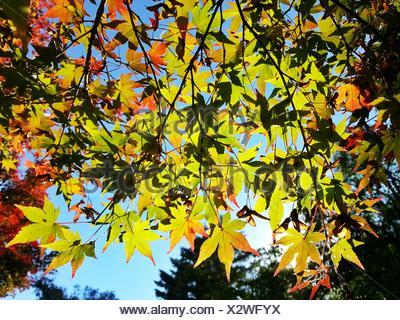 Autumn foliage and  blue sky, Itsukushima, Hatsukaichi, Japan - Stock Photo