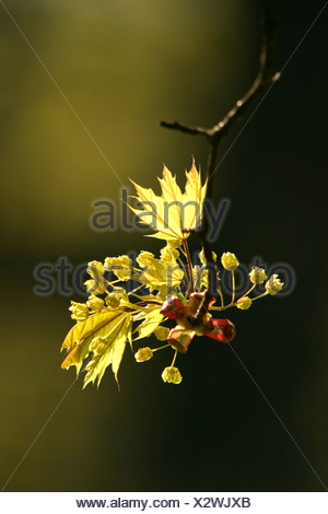 Blossoms and young leaves of the Norway Maple Acer platanoides in dramatic opposite light with dark background in springtime - Stock Photo