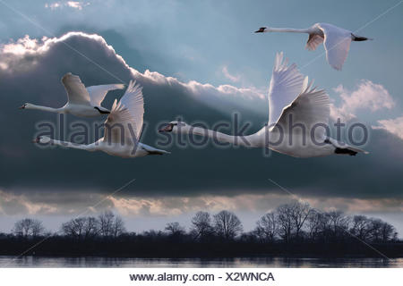 mute swan (Cygnus olor), four swans flying over strech of water, Germany - Stock Photo