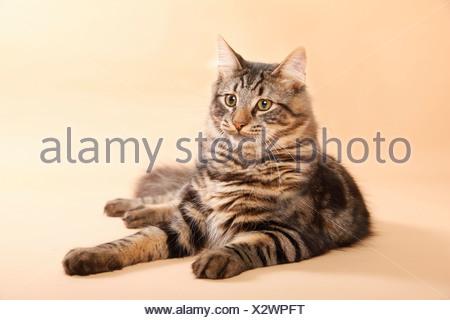 Norwegische Waldkatze / Norwegian Forest Cat - Stock Photo