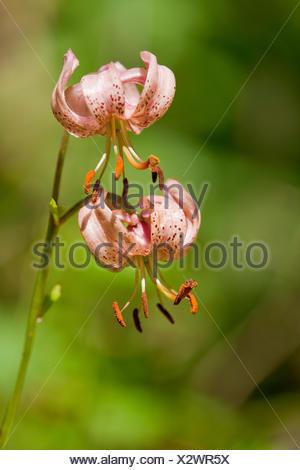 Martagon Lily or Turk's Cap Lily (Lilium martagon), flowering, Thuringia, Germany - Stock Photo