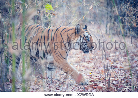 Male tiger Panthera tigris walking in long grass Bandhavgarh national park India - Stock Photo