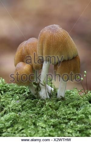 Glistening Ink Cap Coprinus micaceus fruiting - Stock Photo