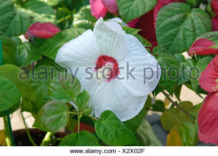 Swamp rose-mallow, Rose Mallow (Hibiscus moscheutos 'Luna White', Hibiscus moscheutos Luna White), cultivar Luna White, flower - Stock Photo