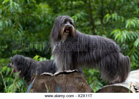 Pyrenean Sheepdogs - Stock Photo