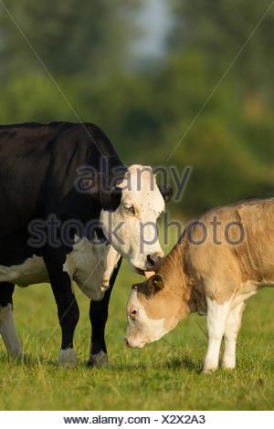Cow (Bos taurus) sleeking her calf in a meadow, Norfolk, England, United Kingdom - Stock Photo