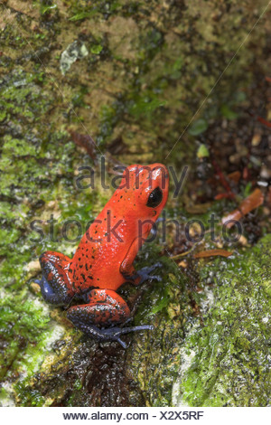 A Strawberry Blue-jeans Poison Dart Frog (Dendrobates pumilio) in Costa Rica. - Stock Photo