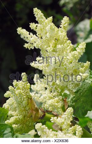 White flowers of Rhubarb (Rheum rhabarbarum) - Stock Photo