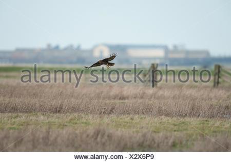 Marsh Harrier Circus aeruginosus in flight Kent UK - Stock Photo