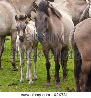 Duelmen pony, Dulmen pony, Duelmener Wildpferd, Dulmener Wildpferd (Equus przewalskii f. caballus), mare with foal in the herd of wild horses in Duelmen, Germany, North Rhine-Westphalia, Duelmen - Stock Photo
