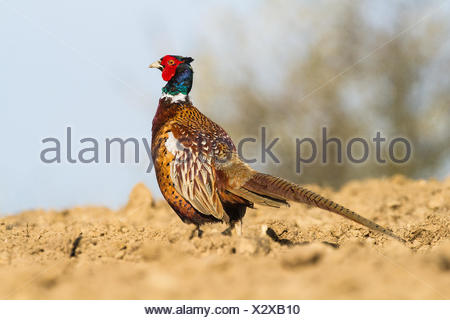 (common) pheasant Phasianus colchicus - Stock Photo