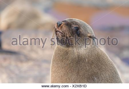 Colony of cape fur seals (Arctocephalus pusillus) on the shore in the Skeleton Coast Park, Namibia, Africa - Stock Photo