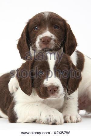 Working English springer spaniel puppies, age 6 weeks. - Stock Photo